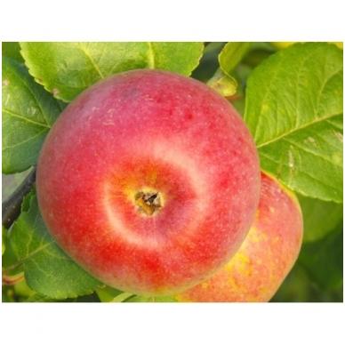 """Obuoliai """"Auksis"""", 1 kg. 2"""