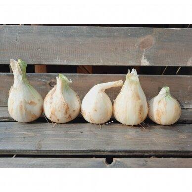 Švieži balti svogūnai, 0,5 kg.*